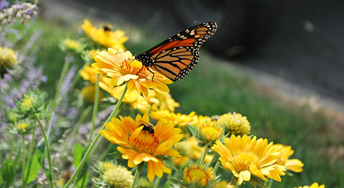 A Monarch butterfly visits a yellow flower in a stand of purple and yellow flowers in the lawn.