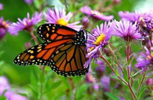 Butterfly Refuge Eastern Shore VA