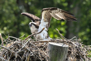 Osprey nest at Kiptopeke State Park