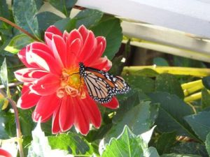 Monarch feeding on zinnia