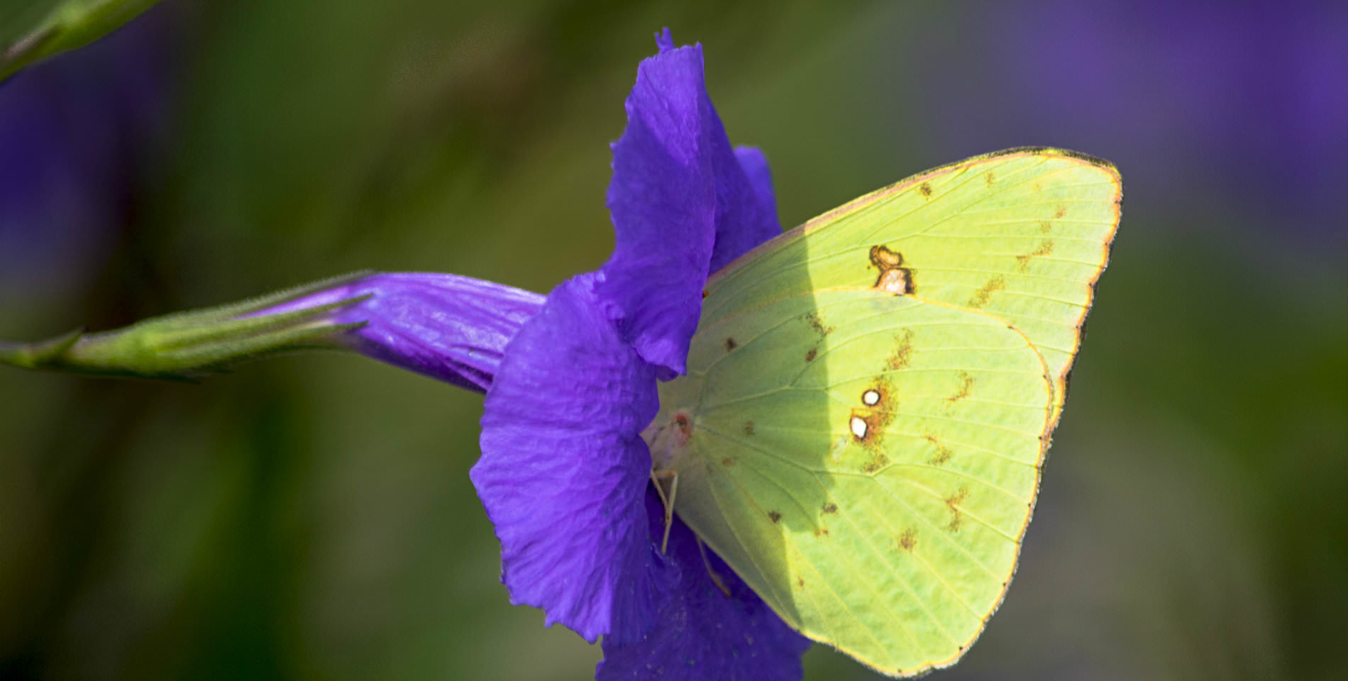 A light green winged butterfly drinks deeply from a purple flower.