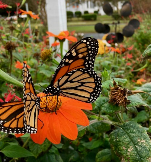 Two monarchs feeding on Mexican Sunflowers