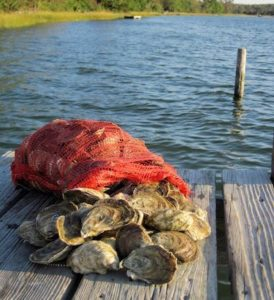 bag of Chesapeake Bay oysters on the pier