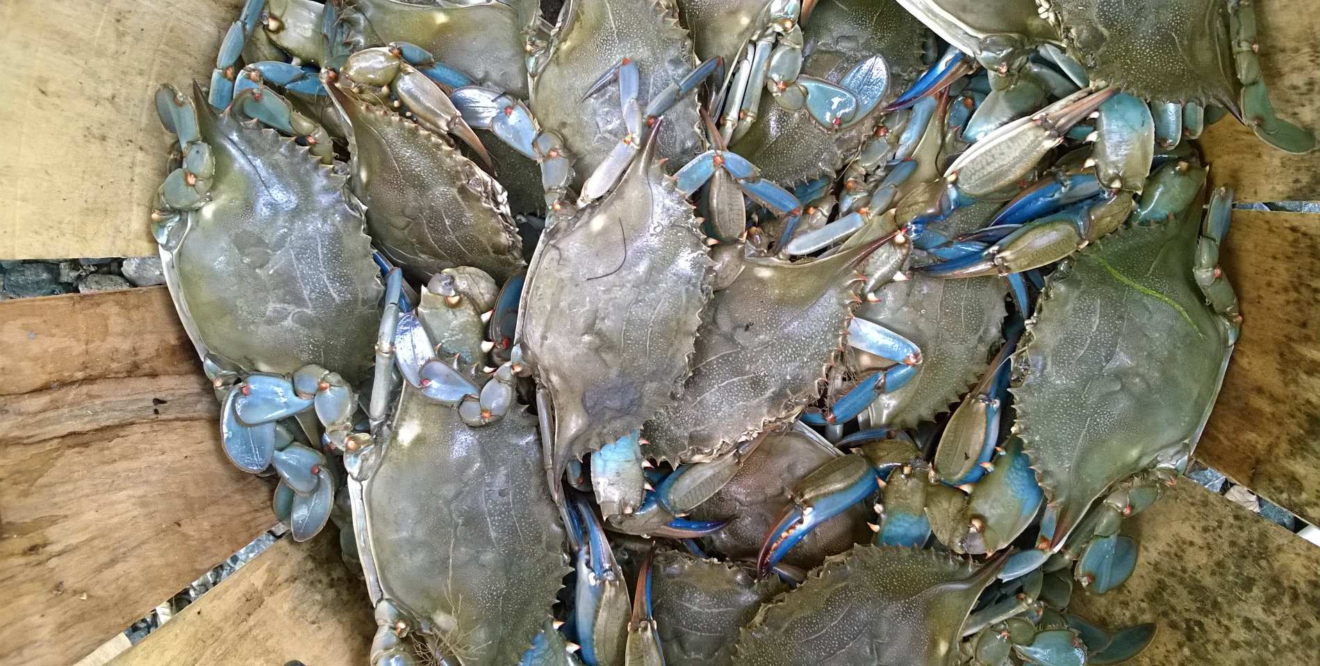 A wood  planked basket containing a dozen, freshly caught blue crabs.