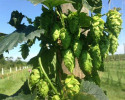 seaside hops farm