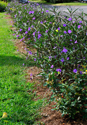 A row of purple flowered bushes over brown mulch along the green lawn.