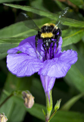 A large yellow and black honeybee visits a purple flower with green foliage in the background.