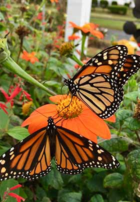 Two orange, black and white Monarch butterflies visit an orange flower in the green garden.