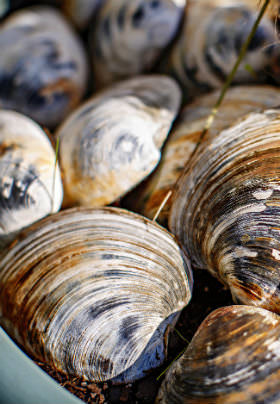 The brown and gray streaked shells of a dozen white clams rest in a blue bucket.